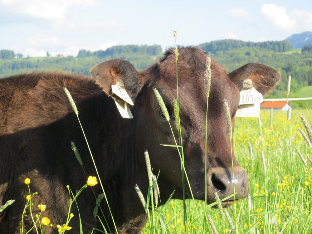 Wagyu Rind in der Bio Zucht in Österreich